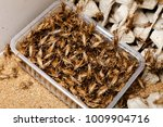 Many Insects Crickets