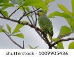 Small photo of Orange-winged Amazon (Amazona amazonica) - Cuyabeno Wildlife Reserve - Amazonia, Ecuador