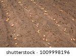planting potatoes in the spring ... | Shutterstock . vector #1009998196