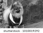 the wear  aggressive spitz dog... | Shutterstock . vector #1010019292