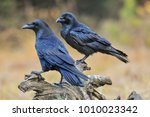 Common Raven On Old Stump. ...