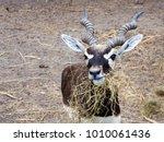 A Young Blackbuck Feeding Dry...