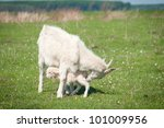 Summer landscape with a goat and kid - stock photo