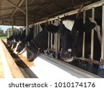 Dairy Cows Line Up In Tropical...