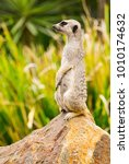 meerkat on guard on a rock | Shutterstock . vector #1010174632