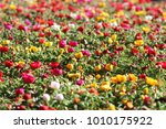 field of colourful flowers  ... | Shutterstock . vector #1010175922