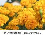beautiful marigold yellow... | Shutterstock . vector #1010199682