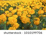 beautiful marigold yellow... | Shutterstock . vector #1010199706