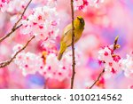 The Japanese White Eye.the...