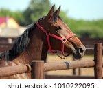 thoroughbred bay horse against... | Shutterstock . vector #1010222095