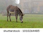 grevy's zebra grazing | Shutterstock . vector #1010264485