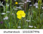 Small photo of Yellow flower Oenothera biennis (common evening-primrose, evening star, sun drop, weedy evening primrose, german rampion, hog weed, King's cure-all, fever-plant) in summer field