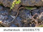 lizard green lay at stone | Shutterstock . vector #1010301775