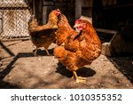 laying hens in a private farm | Shutterstock . vector #1010355352