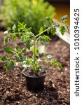 young tomato plant in the... | Shutterstock . vector #1010394625
