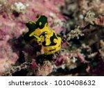 Small photo of Nudibranch Notodoris (Aegires) gardineri. Celebes sea, Kapalai, Malaysia