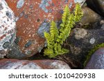 a small green fern in round... | Shutterstock . vector #1010420938