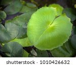 Young Water Lily Leaves With...