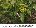 Flower Buds On Japanese Raisin...
