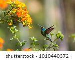 colorful hummingbird in costa... | Shutterstock . vector #1010440372