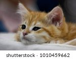 funny cute red kitten. ginger... | Shutterstock . vector #1010459662