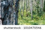 grizzly in forest | Shutterstock . vector #1010470546