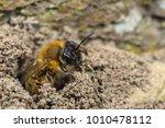 A Female Andrena Nigroaenea...