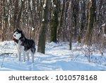 husky in the winter forest | Shutterstock . vector #1010578168
