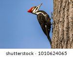 Pileated Woodpecker perched on tree.