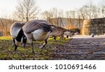 Geese Feeding In The Park On A...