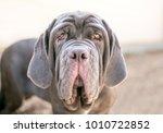 a neapolitan mastiff dog   Shutterstock . vector #1010722852