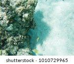 citron butterflyfish in the... | Shutterstock . vector #1010729965