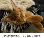 sleeping  brown cat  somali cat  | Shutterstock . vector #1010734096