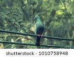 a shot of a house pigeon   Shutterstock . vector #1010758948
