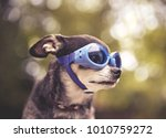 cute chihuahua sitting outside... | Shutterstock . vector #1010759272