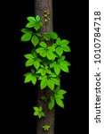 Small photo of Virginia creeper vine climbing a tree trunk on a black background. The vine looks like a natural decoration.