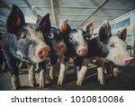 Berkshire Pig Or Kurobuta Pig...