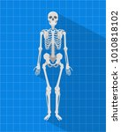 human skeleton with blueprint... | Shutterstock .eps vector #1010818102
