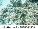 dusky surgeonfish swimming in... | Shutterstock . vector #1010846356