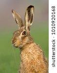 Stock photo european brown hare lepus europaeus 1010920168