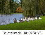 gooses are looking for foods at ... | Shutterstock . vector #1010920192