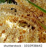 Pygmy Date Palm Flowers Blosso...