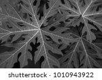 Black And White Papaya Leaves
