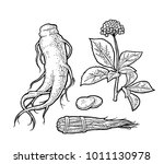 root  slice  bunch tied by rope ... | Shutterstock .eps vector #1011130978