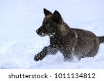 wolf pup playing in the snow | Shutterstock . vector #1011134812