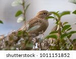 the house sparrow  passer... | Shutterstock . vector #1011151852