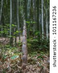 Small photo of Bamboo shoot in bamboo forest. Green tree in nature