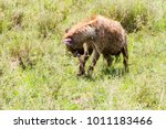 the spotted hyena  crocuta... | Shutterstock . vector #1011183466