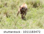 the spotted hyena  crocuta... | Shutterstock . vector #1011183472