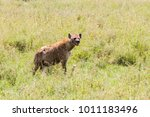 the spotted hyena  crocuta... | Shutterstock . vector #1011183496